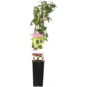 Braam (rubus fruticosus Thornless Evergreen) fruitplanten