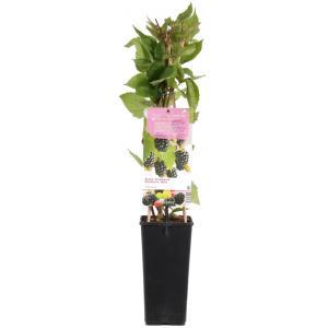 Braam (rubus fruticosus Thornfree) fruitplanten