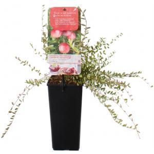 Cranberry (vaccinium macrocarpon Cranberry) fruitplanten