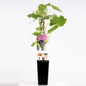 Blauwe druif (vitis vinifera Glenora) fruitplanten - In 2 liter pot - 1 stuks