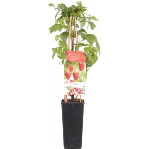 Herfstframboos (rubus idaeus Aroma Queen) fruitplanten