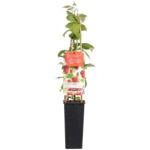 Herfstframboos (rubus idaeus Autumn Bliss) fruitplanten - In 2 liter pot - 1 stuks