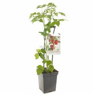 Herfstframboos (rubus idaeus Autumn Bliss) fruitplanten - In 5 liter pot - 1 stuks