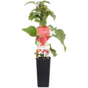Zomerframboos (rubus idaeus Tulameen) fruitplanten