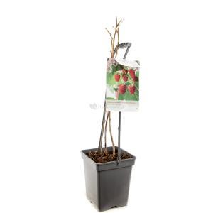 Zomerframboos (rubus idaeus Glen Ample) fruitplanten - In 5 liter pot - 1 stuks