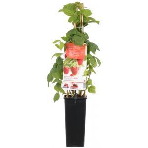 Herfstframboos (rubus idaeus Zefa Herbsternte) fruitplanten