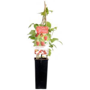 Zomerframboos (rubus idaeus Malling Promise) fruitplanten - In 2 liter pot - 1 stuks