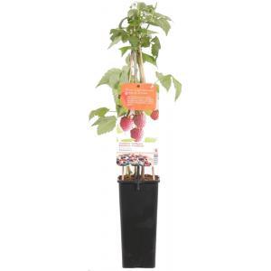 Zomerframboos (rubus idaeus Schonemann) fruitplanten
