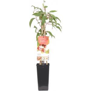 Kiwibes (vrouwelijk) (actinidia arguta Ken's Red) fruitplanten