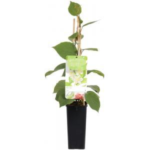 "Kiwi (mannelijk) (actinidia deliciosa Atlas"") fruitplanten"