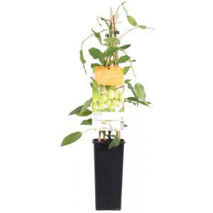Kiwibes (Actinidia Arguta Issai) fruitplanten - In 2 liter pot - 1 stuks