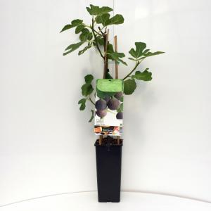 Vijg (ficus carica Brown Turkey) fruitbomen - In 2 liter pot - 1 stuks