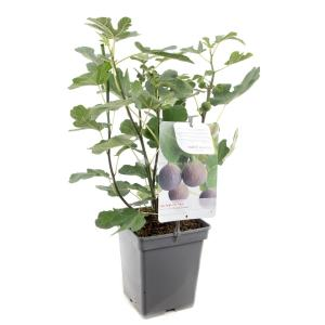 Vijg (ficus carica Brown Turkey) fruitbomen - In 5 liter pot - 1 stuks