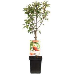 Appelboom Elstar (Malus Domestica Elstar) fruitbomen - In 5 liter pot - 1 stuks