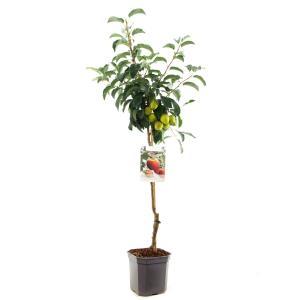 Appelboom Elstar (Malus Domestica Elstar) fruitbomen - In 7 liter pot - 1 stuks