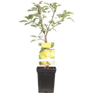 Appelboom Golden Delicious (malus domestica Golden Delicious) fruitbomen