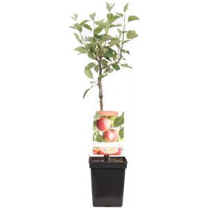 Appelboom James Grieve (malus domestica James Grieve) fruitbomen