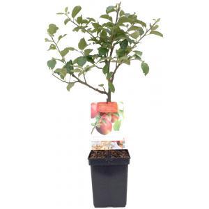 Appelboom Rode Jonagold (malus domestica Rode Jonagold) fruitbomen