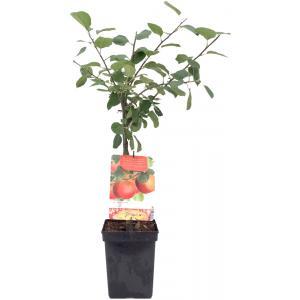 Appelboom Rode Boskoop (malus domestica Rode Boskoop) fruitbomen
