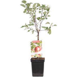 Appelboom (malus domestica Summer Red) fruitbomen