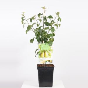 Perenboom Beurre Hardy (Pyrus Communis Beurre Hardy) fruitbomen