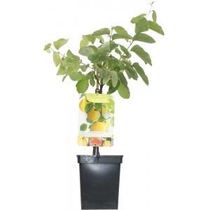 Kweepeer (cydonia oblonga Vranja) fruitbomen