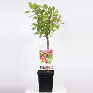 Pruimenboom (Prunus Domestica Opal) fruitbomen