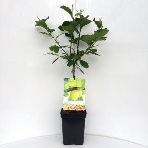 Pruimenboom (prunus domestica Ontario) fruitbomen