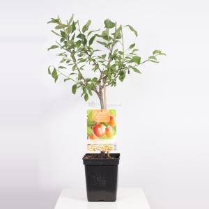 Pruimenboom (Prunus Domestica Victoria) fruitbomen