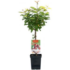 Kersenboom (prunus avium Dubbele Meikers) fruitbomen