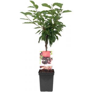 Kersenboom (prunus avium Lapins) fruitbomen