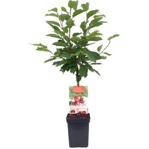 Kersenboom (prunus avium Stella) fruitbomen