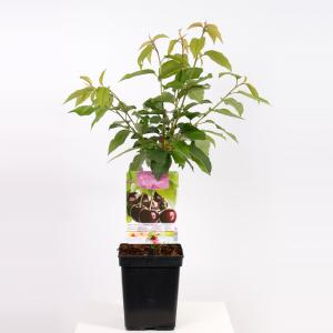 Kersenboom (prunus avium Sunburst) fruitbomen - In 5 liter pot - 1 stuks
