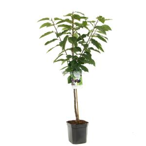 Kersenboom (prunus avium Sunburst) fruitbomen - In 7 liter pot - 1 stuks
