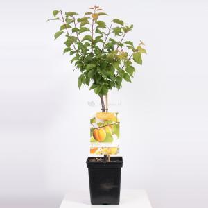 Abrikoos (Prunus Armeniaca)