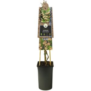 "Kiwi (vrouwelijk) (Actinidia deliciosa Hayward"") klimplant"