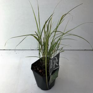 Fazantstaartgras (Anemanthele Sirocco) siergras