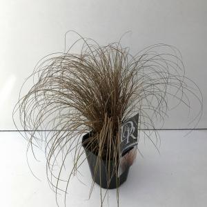 Zegge (Carex comans Bronze Form) siergras