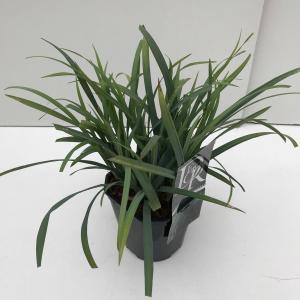 Zegge (Carex laxiculmis Bunny Blue) siergras - In 2 liter pot - 1 stuks