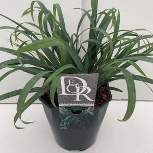 Zegge (Carex laxiculmis Bunny Blue) siergras - In 5 liter pot - 1 stuks