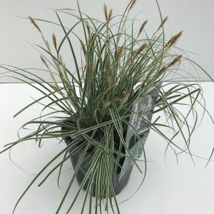 Zegge (Carex oshimensis Everest) siergras - In 2 liter pot - 1 stuks