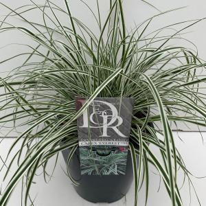 Zegge (Carex oshimensis Everest) siergras - In 5 liter pot - 1 stuks
