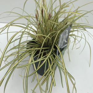 Zegge (Carex oshimensis Evergold) siergras - In 2 liter pot - 1 stuks