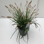 "Japanse zegge (Carex ""Evergreen"") siergras"