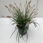 "Japanse zegge (Carex ""Evergreen"") siergras"
