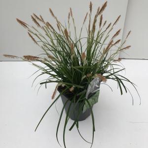 Japanse zegge (Carex Evergreen) siergras - In 2 liter pot - 1 stuks