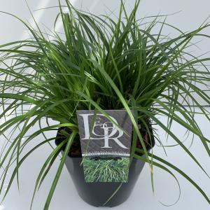 Japanse zegge (Carex Evergreen) siergras - In 5 liter pot - 1 stuks