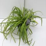 "Zegge (Carex ""Everillo"") siergras"