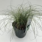 "Zegge (Carex comans ""Frosted Curls"") siergras"