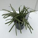 "Zegge (Carex morrowii ""Ice Dance"") siergras"
